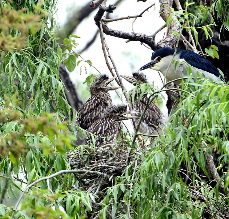 black krönade heronnatt arkivfoto