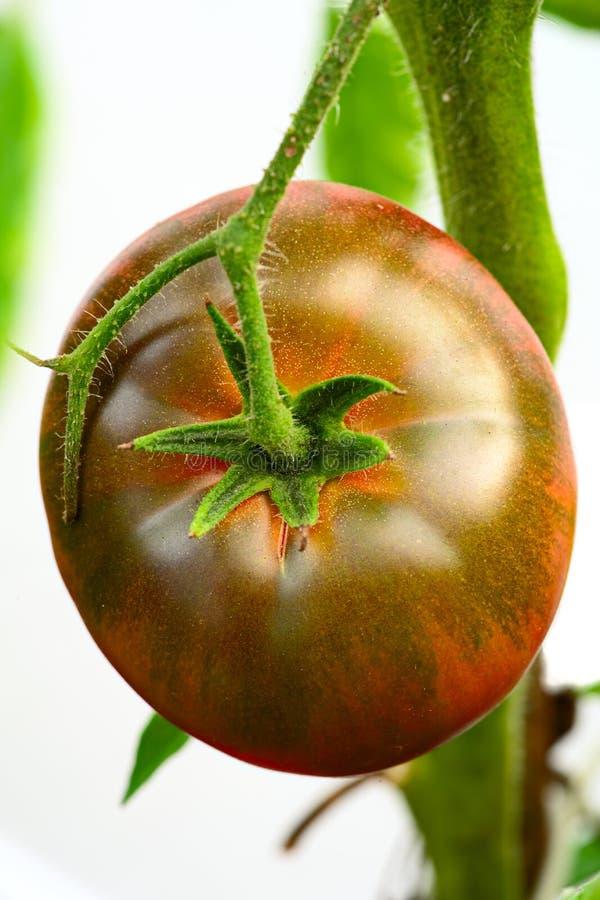 Black Krim -- Ukrainian heirloom tomato royalty free stock photo