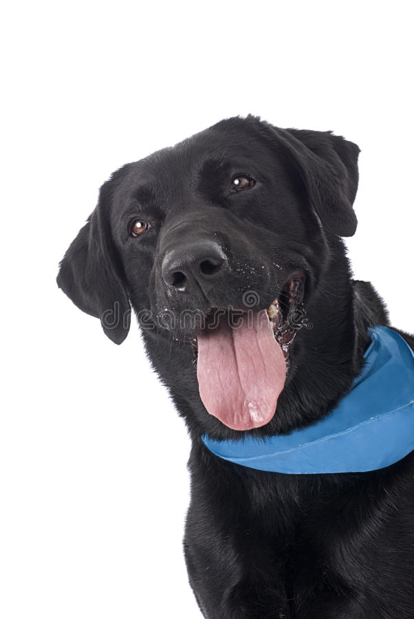 Black Lab with Blue Bandana on White. A sweet and happy Black Labrador Retriever with a blue bandana on a white background stock photos