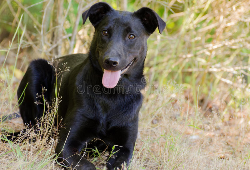 black lab jack russell terrier mix