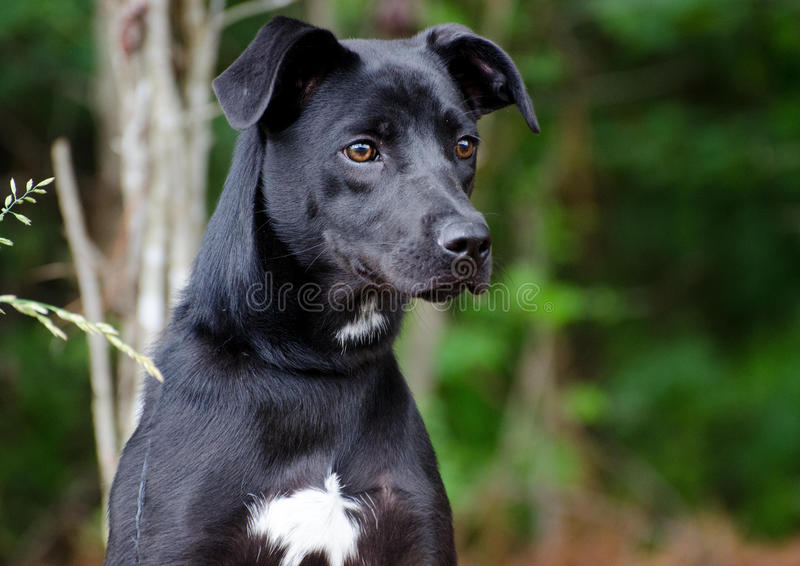 Black Lab Terrier Mixed Breed Dog. Walton County Animal Control, humane society adoption photo, outdoor pet photography stock photo