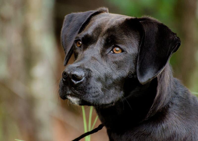 Black Lab Terrier Mixed Breed Dog. Walton County Animal Control, humane society adoption photo, outdoor pet photography royalty free stock photo