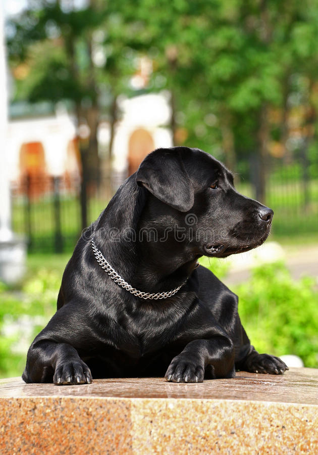 Black Labrador. Lying, outdoor photography royalty free stock image