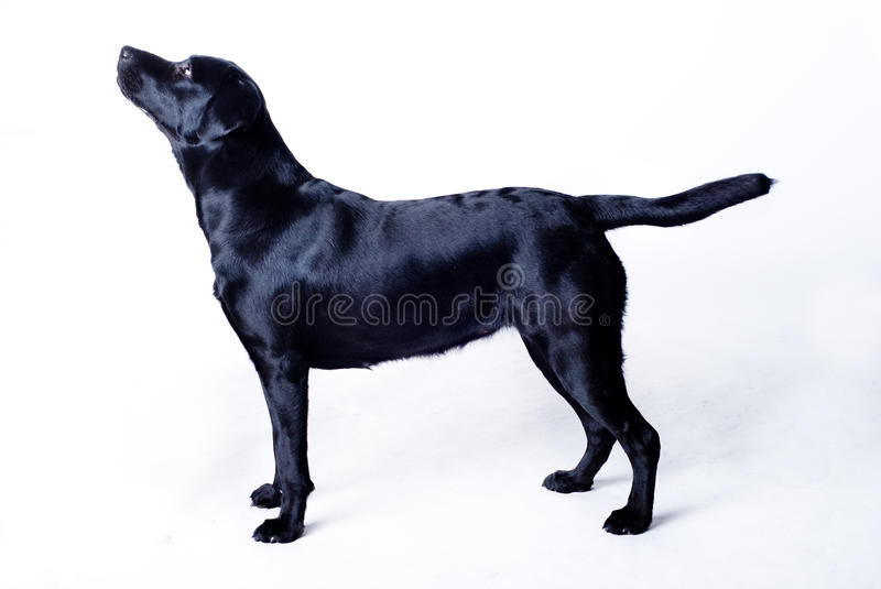 Black labrador. Isolated on white background stock image