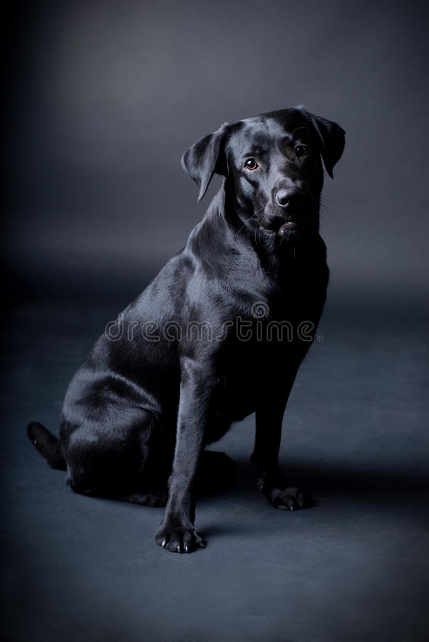 Black labrador. On black background stock image