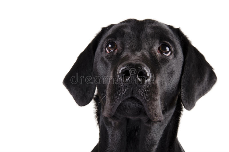 Black Labrador. Portrait of a black Labrador Retriever looking up (isolated on white royalty free stock images