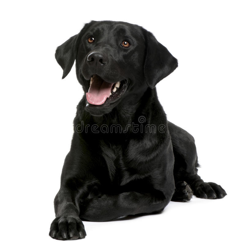 Black Labrador. In front of a white background stock photo