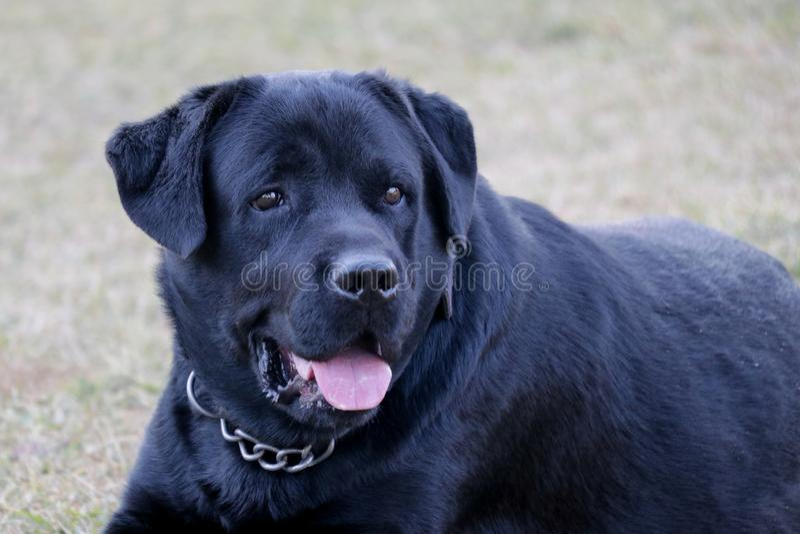 Black Labrador bog aggressivly looking royalty free stock photo