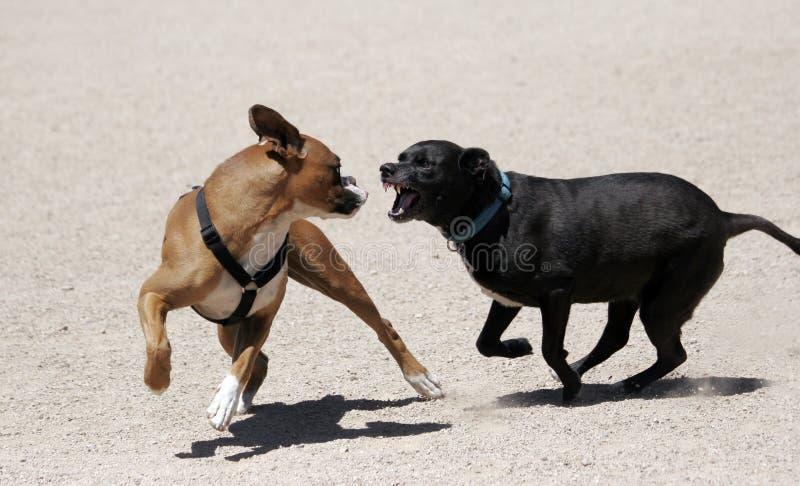 Black Labrador chasing a boxer royalty free stock photo