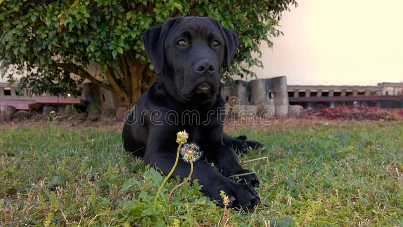Black Labrador with Dandelion. A black Labrador puppy laying down on grass behind a dandelion stock photos