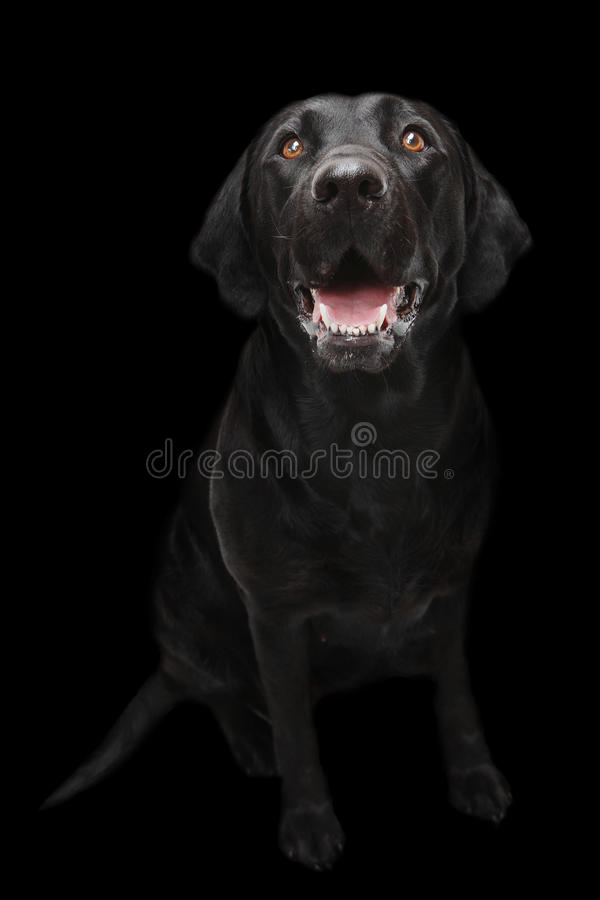 Black Labrador dog. Full body black Labrador dog royalty free stock photos