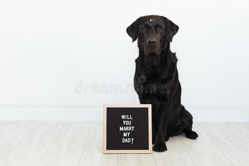 Black labrador dog lying on the floor with a weeding ring on his nose and vintage letter board with message: will you marry my dad. ? Wedding concept.Pets royalty free stock photo