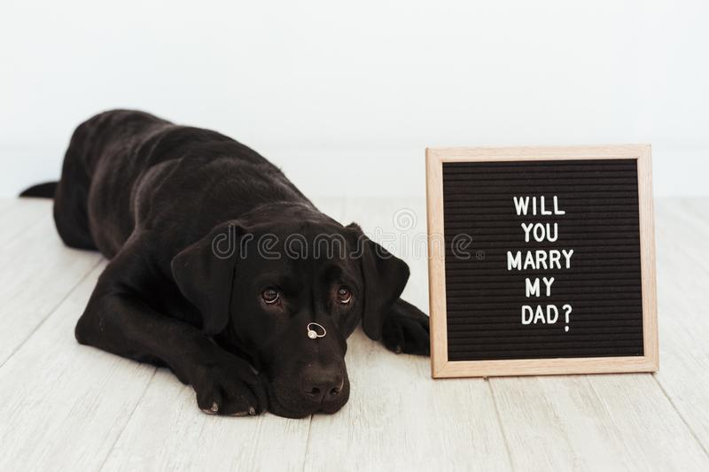 Black labrador dog lying on the floor with a weeding ring on his nose and vintage letter board with message: will you marry my dad. ? Wedding concept.Pets royalty free stock photos