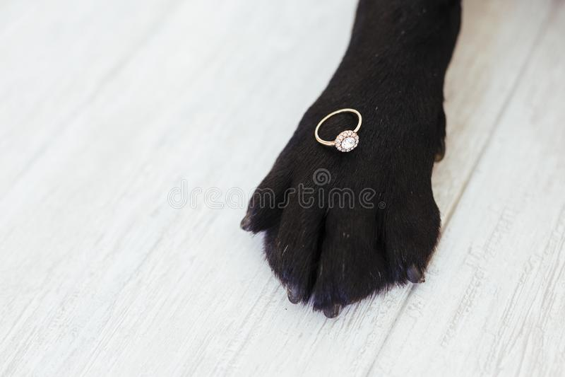 Black labrador dog lying on the floor with a weeding ring on his paw. Wedding concept.Pets indoors.  royalty free stock photos