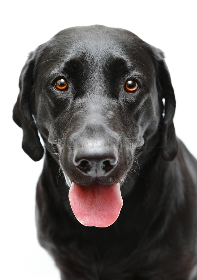 Black Labrador dog. Black pet Labrador dog portrait royalty free stock images