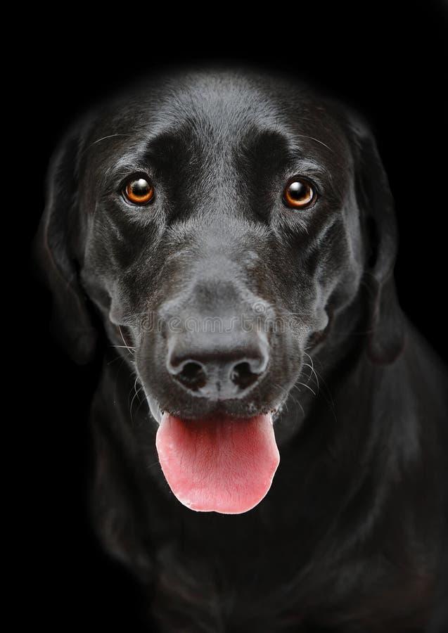 Black Panting dog stock photography