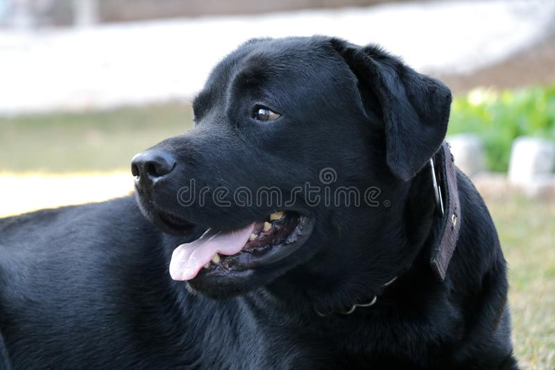 Black labrador dog looking someone stock image