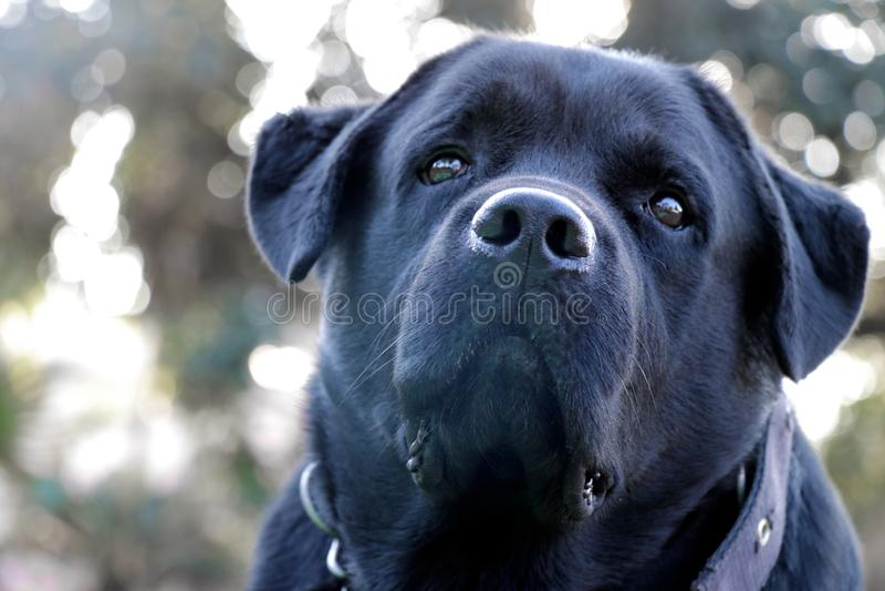 Black labrador dog face close-up, looking strangely stock photo