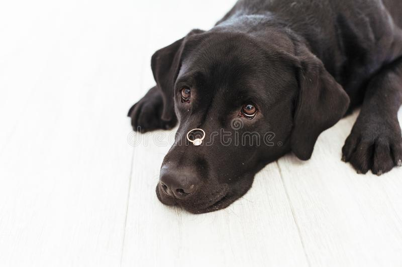Black labrador dog with a weeding ring on his head. Wedding concept.Pets indoors.  royalty free stock photos