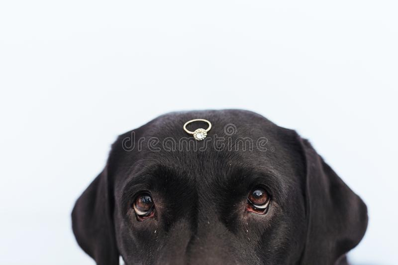 Black labrador dog with a weeding ring on his head. Wedding concept.Pets indoors.  royalty free stock image