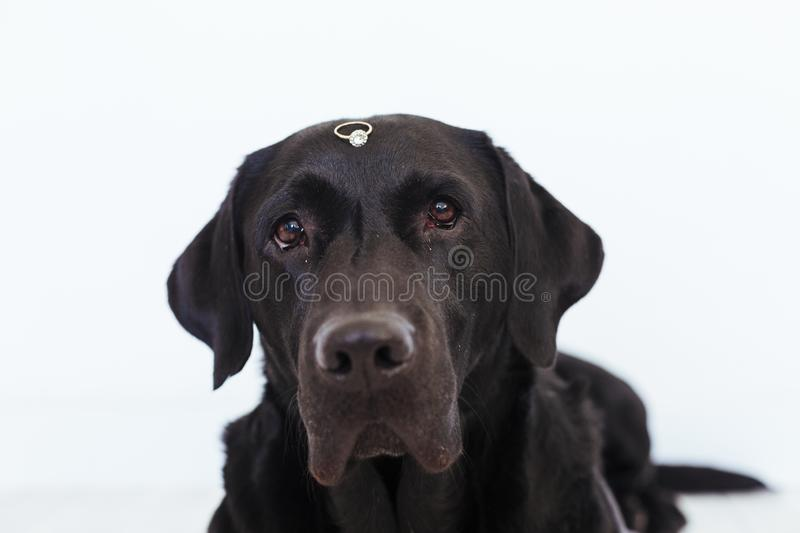 Black labrador dog with a weeding ring on his head. Wedding concept.Pets indoors.  stock photos