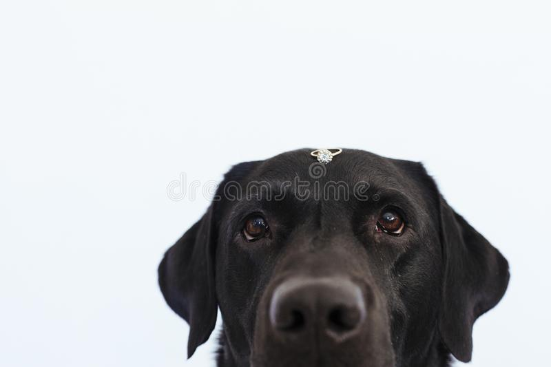 Black labrador dog with a weeding ring on his head. Wedding concept.Pets indoors.  stock photography