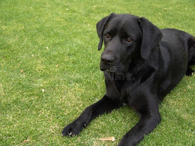 Black labrador laying on grass stock images