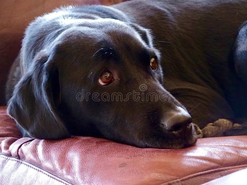 Black Labrador. Laying on a leather sofa royalty free stock photography