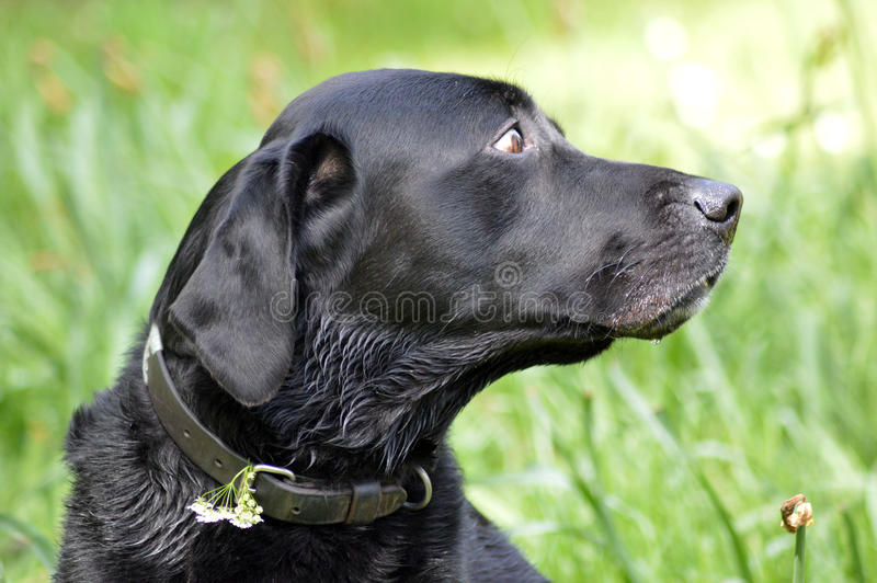Black labrador. Looking for its owner royalty free stock photo