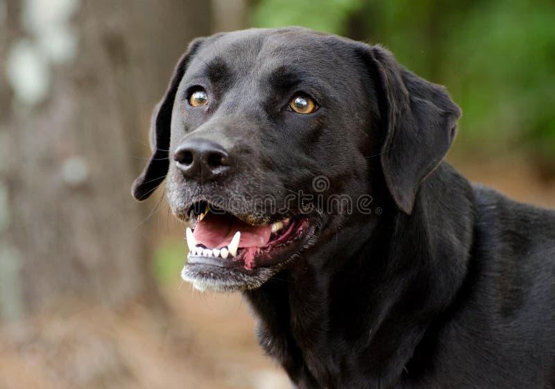 Black Labrador Mixed Breed Dog. Walton County Animal Control, humane society adoption photo, outdoor pet photography stock photos