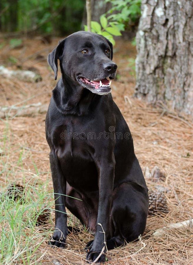 Black Labrador Mixed Breed Dog. Walton County Animal Control, humane society adoption photo, outdoor pet photography stock images