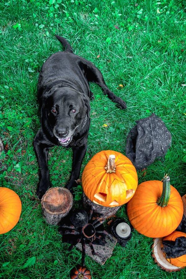 Black labrador near Jack-o-Lantern outdoors. Halloween. Dog with pumpkins. Top view royalty free stock photos