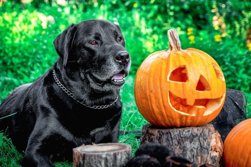 Black labrador near Jack-o-Lantern outdoors. Halloween. Dog with pumpkins stock photo