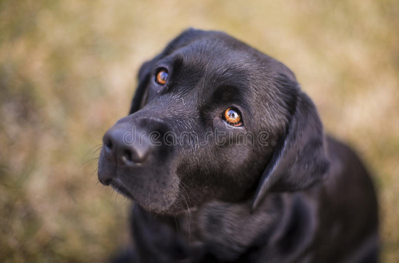 Black labrador. With orange eyes looking into the camera royalty free stock photo