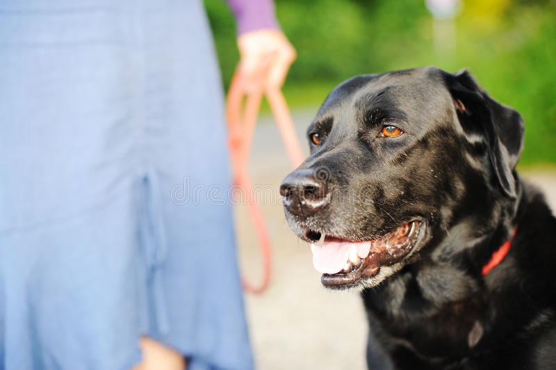 Download Black Labrador Out For A Walk Stock Image - Image: 13022563