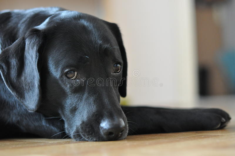Black labrador posing. On the floor stock photos