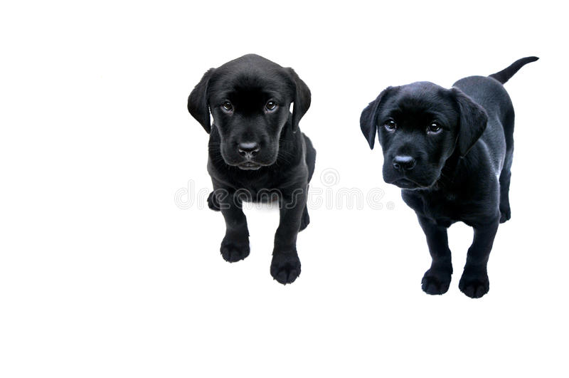 Black labrador puppies royalty free stock photo