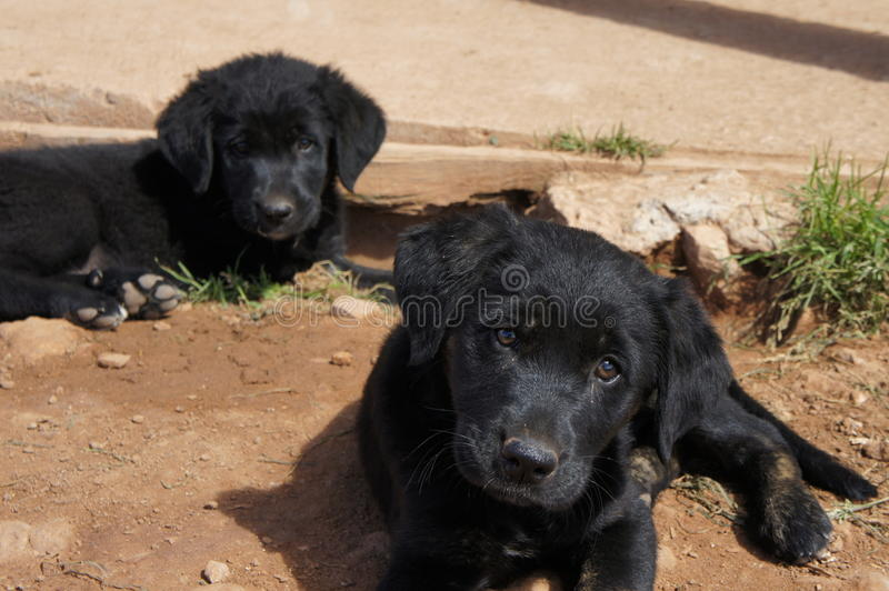 Black Labrador puppies sitting in the dirt stock photos