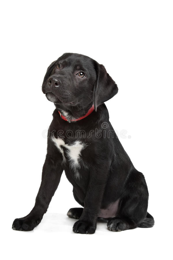 Black Labrador puppy. In front of a white background royalty free stock photography