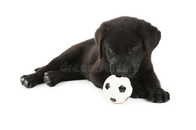Black labrador puppy. Beautiful black labrador puppy isolated on a white stock image