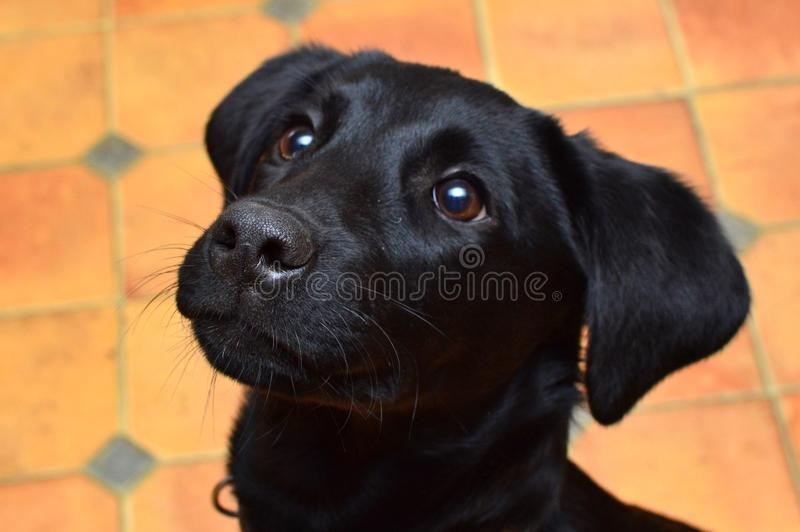 Black Labrador puppy. Close up portrait of a black Labrador puppy looking up stock images