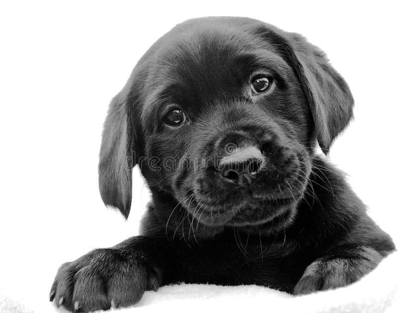 Black Labrador Puppy. Cute female black labrador puppy tilting her head stock image