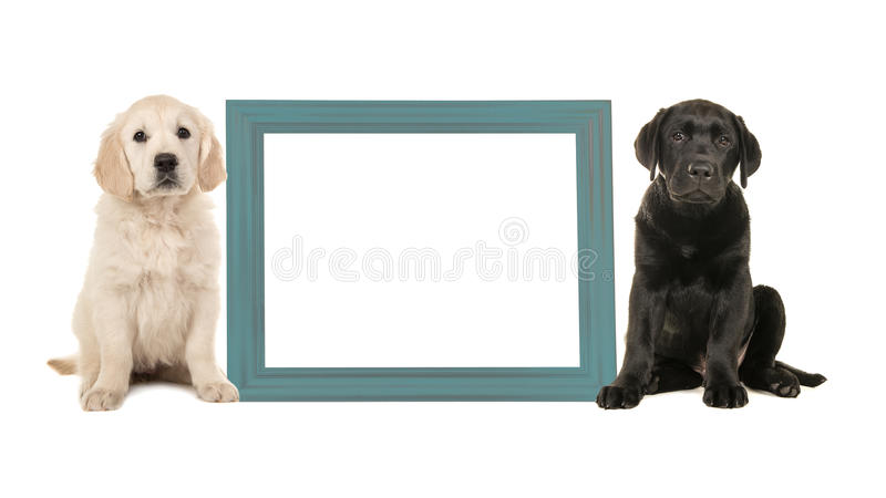 Black labrador puppy dog and golden retriever puppy sitting next to a blue empty picture frame. Isolated on a white background stock images