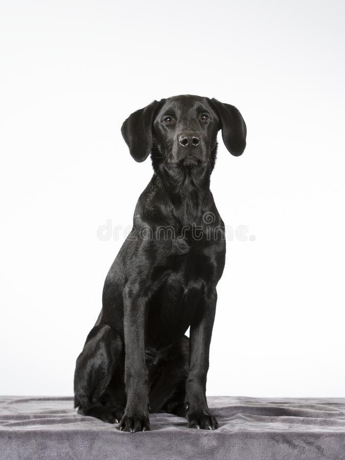 Black labrador puppy dog portrait. Black labrador puppy with a white background. Isolated on white royalty free stock images