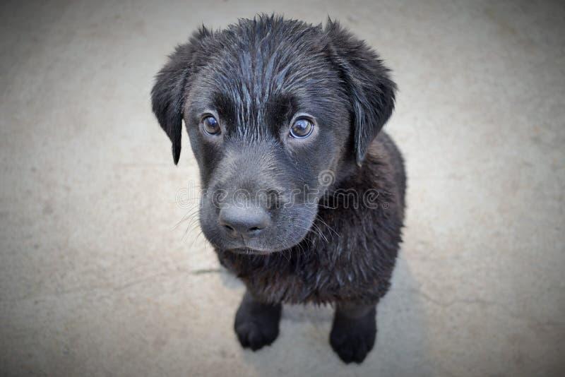Black Labrador Puppy Dog stock image