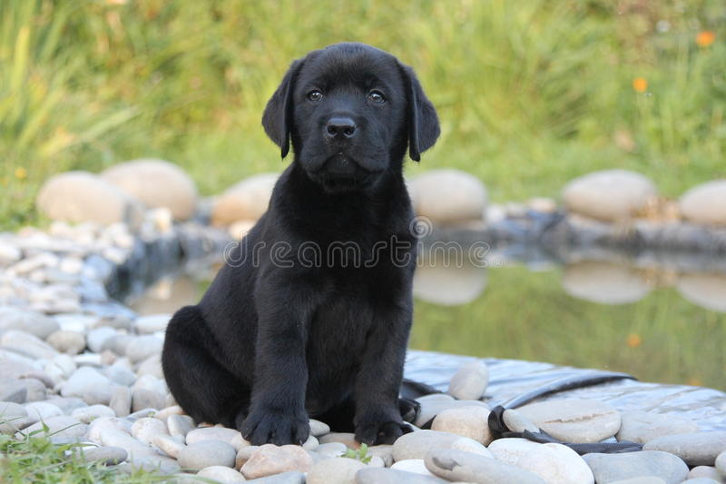 Black labrador puppy near water stock image