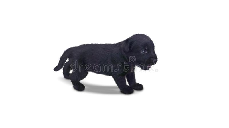 Black Labrador puppy standing on studio. Image of a black Labrador puppy standing in the studio, isolated on white background royalty free stock photos