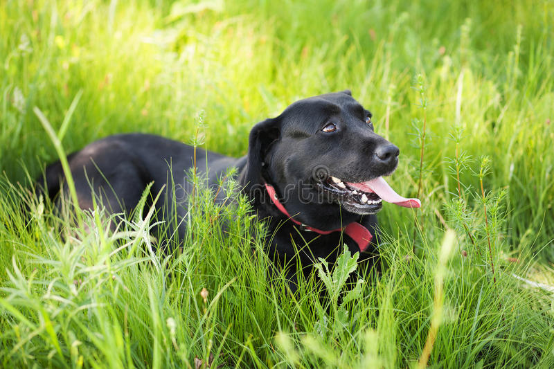 Black Labrador Retriever dog laying on grass royalty free stock photography
