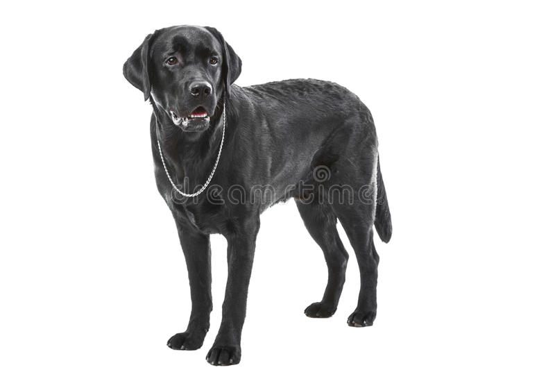 Black labrador retriever dog lying on isolated white stock photography