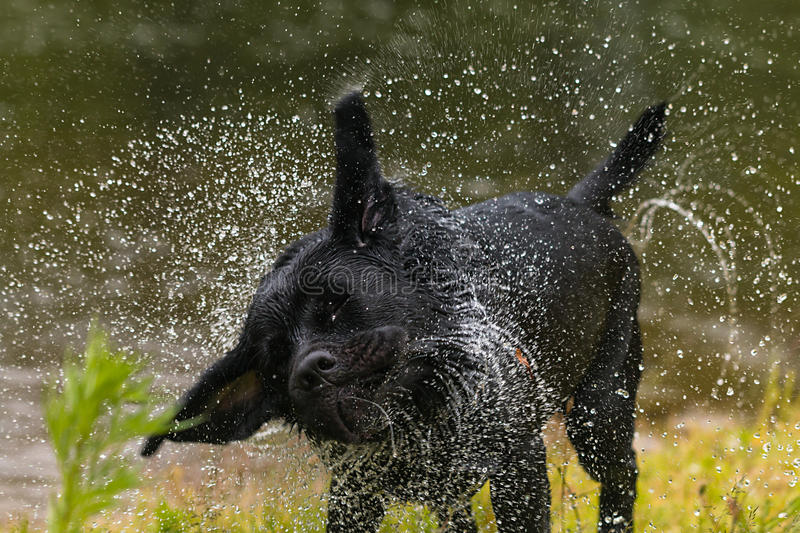Black Labrador retriever dog. Splash after water bath royalty free stock photography